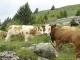 Vaches aux Chalets du Criou
