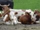 Vaches au Col de la Golèse