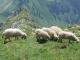 Moutons au sommet