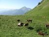 Vaches au Pas de la Bosse