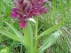 L'Orchis sureau (5 juin 2006)