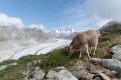 Vache devant le Glacier d'Aletsch (26 aout 2018)
