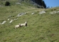 Moutons (10 septembre 2011)
