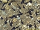 Tétards dans le lac d'Armancette (7 septembre 2006)