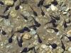 Tétards dans le lac d'Armancette