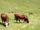 Vaches dans les alpages de Bise (15 juillet 2003)