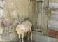 Chèvre (15 juillet 2003)