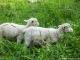 Moutons (2 aout 2011)