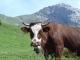 Vache à Samance