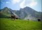 Vaches devant les Aiguilles du Mont