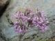 Adenostyles alliariae
