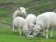 Moutons au Chalet Blanc (6 mai 2007)