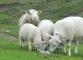 Moutons au Chalet Blanc