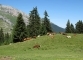 Vaches dans l'alpage d'Aufferand