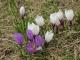 Perce-Neige (25 avril 2004)