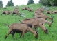 Chèvres au départ du sentier (28 mai 2006)