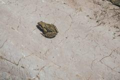 Petite grenouille (18 août 2019)
