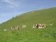 Vaches dans les Alpages (18 juin 2006)