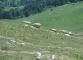 Moutons à la descente (18 juin 2006)