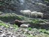 Moutons cherchant l'ombre
