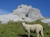 Mouton devant le sommet