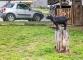 Chèvre sur un tronc à Randa (19 août 2017)