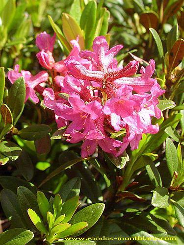 Fleurs de montagne des alpes randos montblanc - Couleur rose vif ...