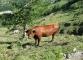 Vache dans l'alpage d'Arnuva
