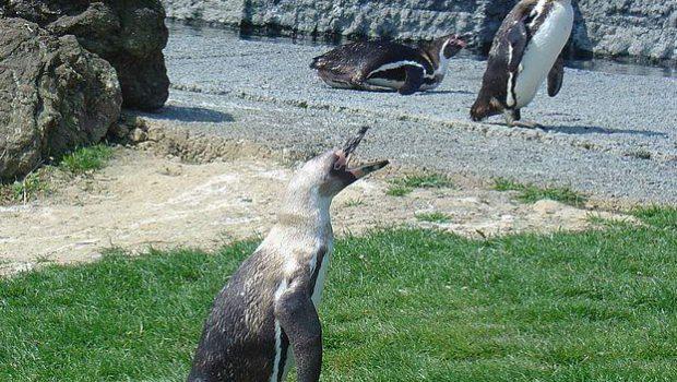 Manchot au Parc des Oiseaux